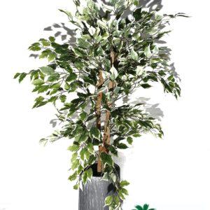 """עץ פיקוס גובה 130 ס""""מ"""