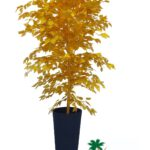 """עץ פיקוס זהב גובה 200 ס""""מ"""