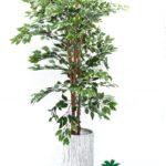 """עץ פיקוס גובה 180 ס""""מ"""