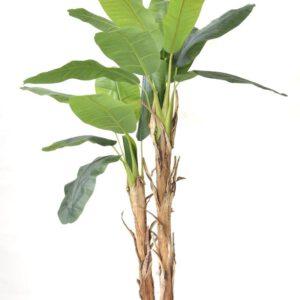 עץ בננה 190