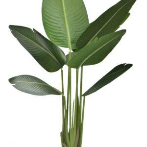 עץ בננה