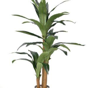 עץ דרצנה