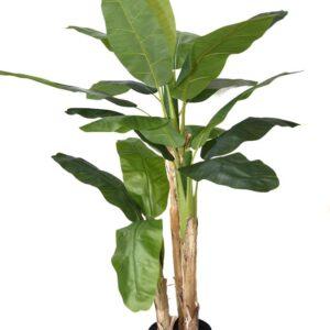 עץ בננה 3 גזעים